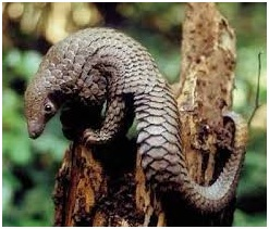 pangolin therapy